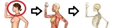 骨、筋肉、皮膚