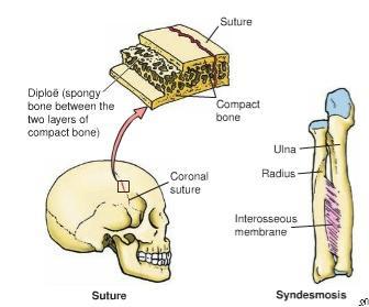 fibrous_joints1311310141986